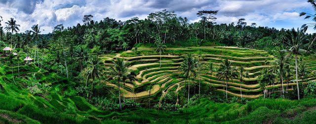 Terrace Rice Busungbiu Singaraja Bali