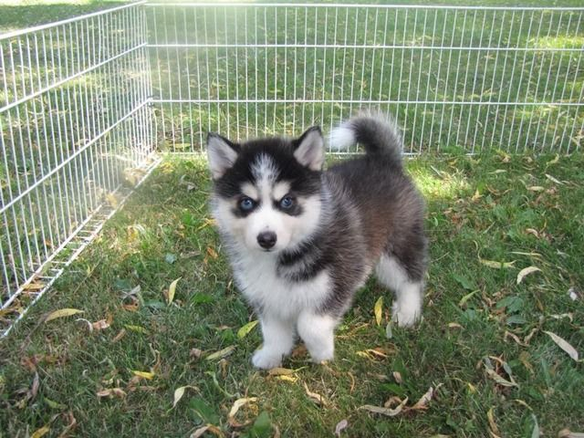 listing Adorable Pomsky Puppy Up for Adoption is published on Free Classifieds USA online Ads - http://free-classifieds-usa.com/for-sale/animals/adorable-pomsky-puppy-up-for-adoption_i24565