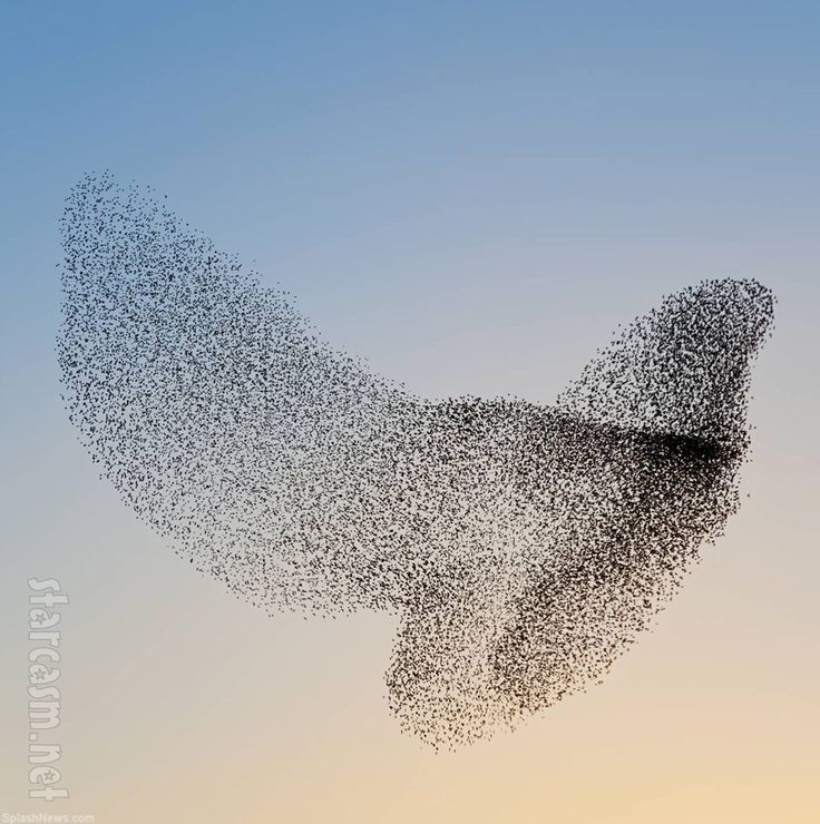 Starling murmuration similar to what is happening near Miller Park at dusk.