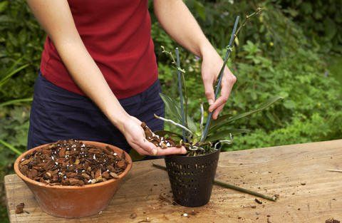 Orchidee mit neuer Erde umtopfen