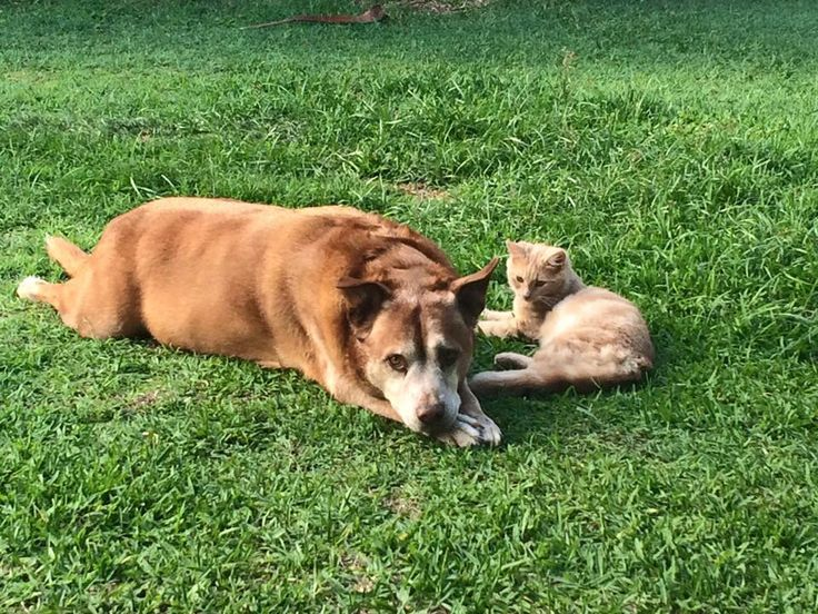 Looking after the kittens - Red Cattle Dog Cross