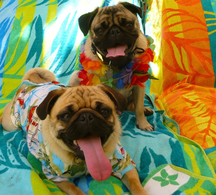 My pugs:  Obi-Wan and Yoda.: Pet Shops,  Pug-Dog, Adorable Pets