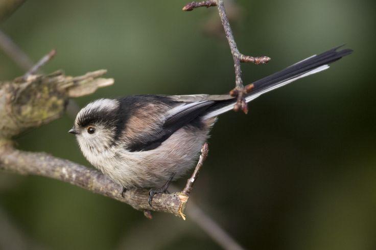 Long-tailed tit (Aegithalos caudatus) | Oxford