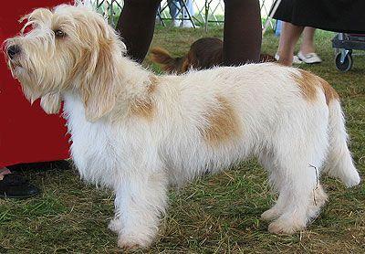 18 best ideas about petit basset griffon vendeen on pinterest frances o 39 connor 16th century - Petit basset hound angers ...