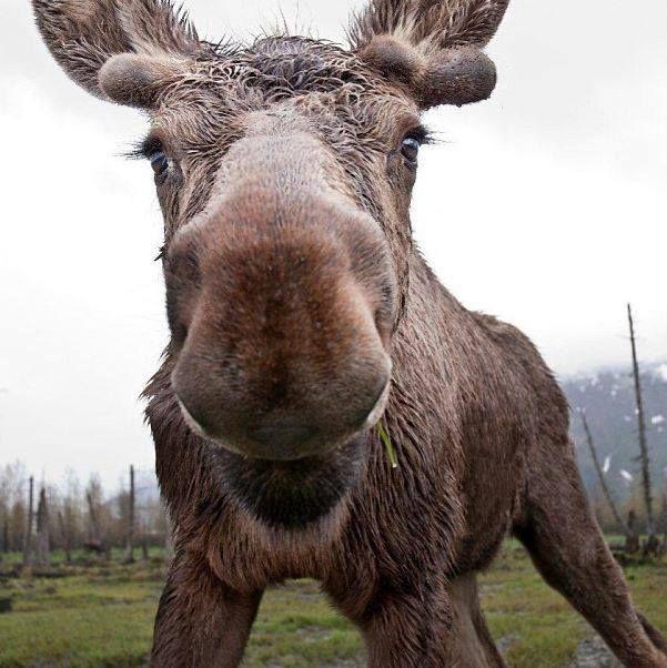 57273351d9bb32edc58c77b8ed767e62 elk moose 19 best moose images on pinterest wild animals, elk and animal