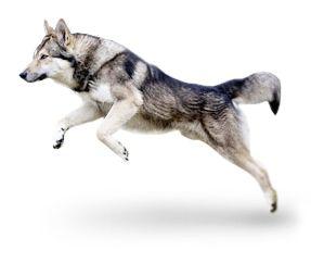 Razza cane: Cane Lupo di Saarloos