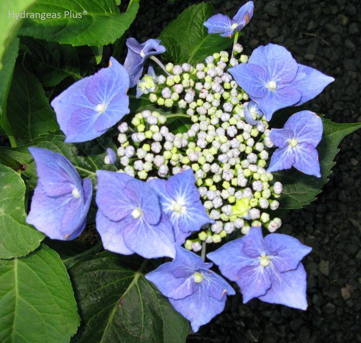 hydrangea macrophylla blaumeise teller blue gardening pinterest hydrangea flowers and. Black Bedroom Furniture Sets. Home Design Ideas