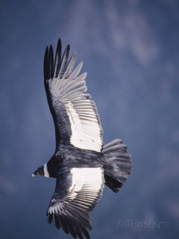 National Bird of Chile  Andean Condor, Adult Female in Flight, Colca Canyon, Southern Peru Photographic Print by Mark Jones at AllPosters.com