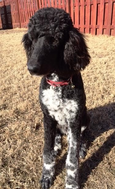 Aramis (Aree) is an adoptable Standard Poodle Dog in Milford, KS What's a standard poodle doing in a corgi rescue? It's a long story so we'll save it for later. ... ...Read more about me on @petfinder.com