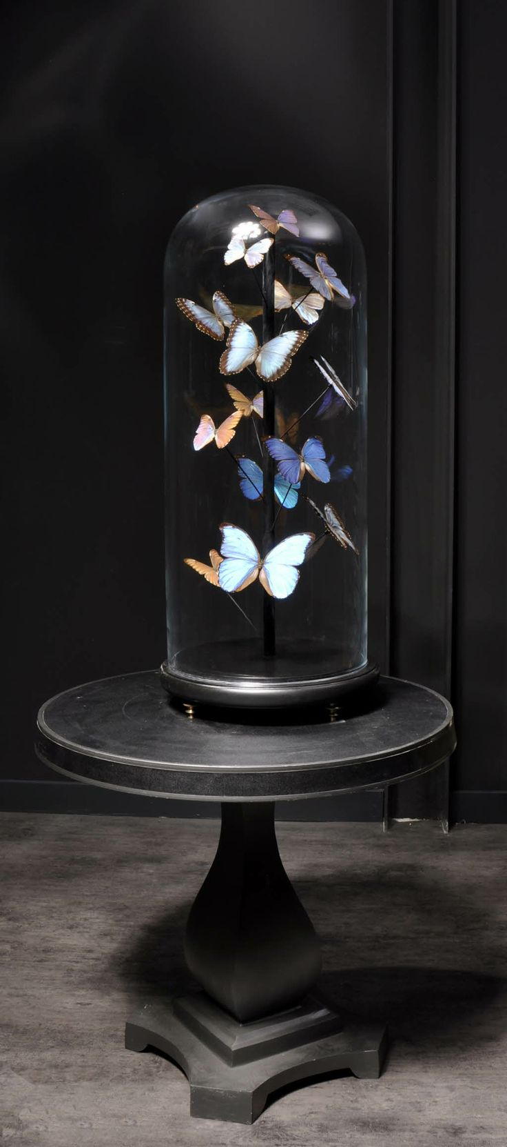 Objet de curiosité-Blue morpho butterflies under glass -★- black
