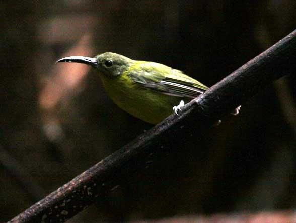 Slaty-chinned Longbill (Toxorhamphus poliopterus)