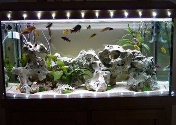 Freshwater aquarium decorated with Christmas lights for the festive season