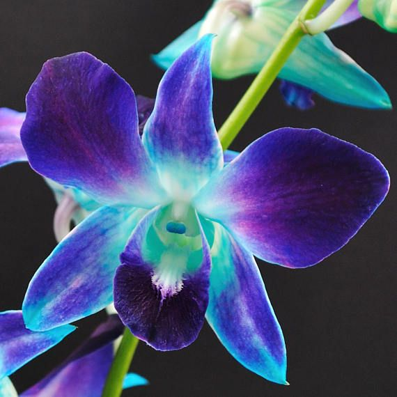 Fresh Blue Dendrobium Orchid Blue Orchid Galaxy Orchid Real Orchid Dendro Wedding Flowers Fres Blue Orchid Flower Dendrobium Orchids Orchid Flower
