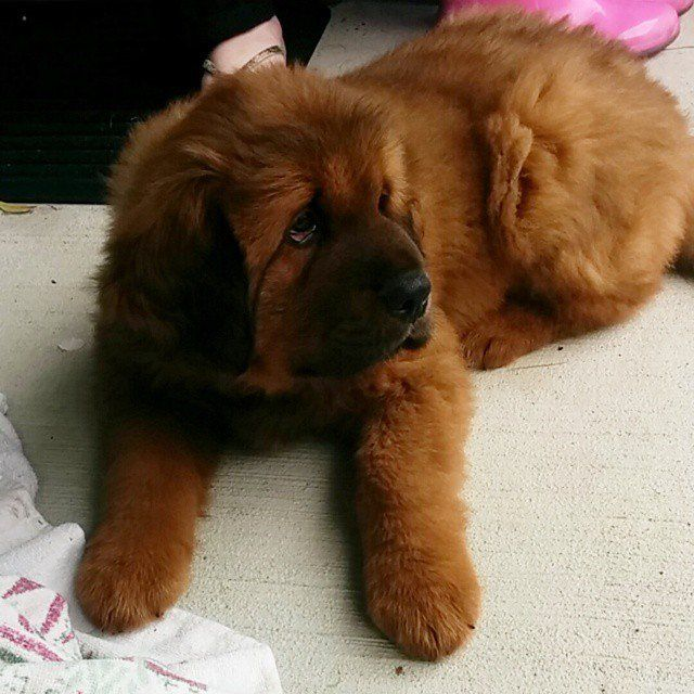 Pin for Later: The 10 Most Expensive Dog Breeds Tibetan Mastiff Puppy price: up to $7,000