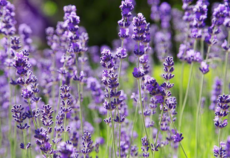 Come essiccare i fiori freschi   http://www.lovediy.it/guide/come-essiccare-i-fiori-freschi/ I #fiori sono perfetti per #decorare la #casa, poiché portano colore e profumo nell'ambiente, rendendolo caldo e confortevole. Non c'è niente di meglio di piante rigogliose ed in salute, ricche di fiori freschi e di numerosi boccioli, ma anche i #fioriessiccati fanno la loro figura...