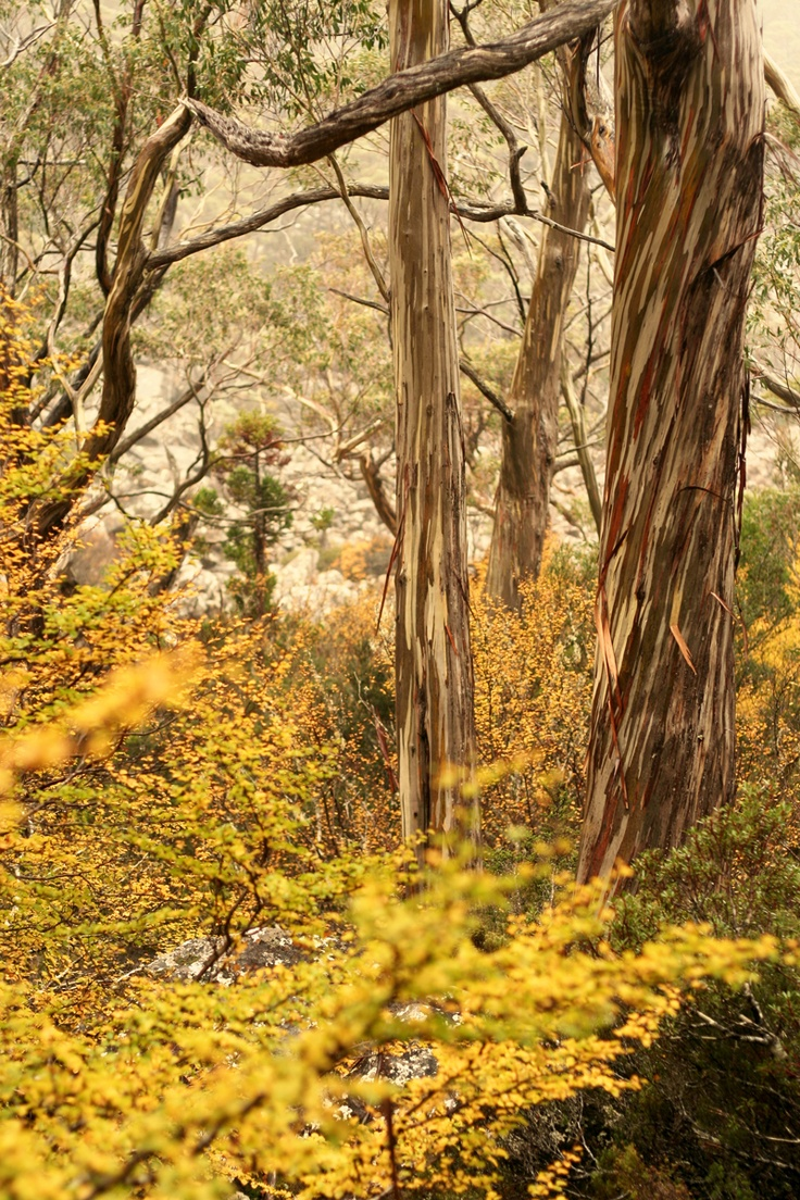 The change of seasons in Tasmania from Autumn to Winter brings extraordinary colour and something unique in Australia as  deciduous beech trees provide 'the turning of the fagus', a striking yellow gold in alpine areas.