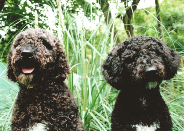 1000+ images about Spanish Water Dogs on Pinterest ...