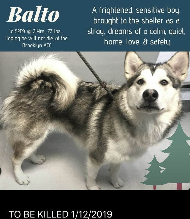 Balto Pulled By Siberian Husky Assistance Rescue Program 01