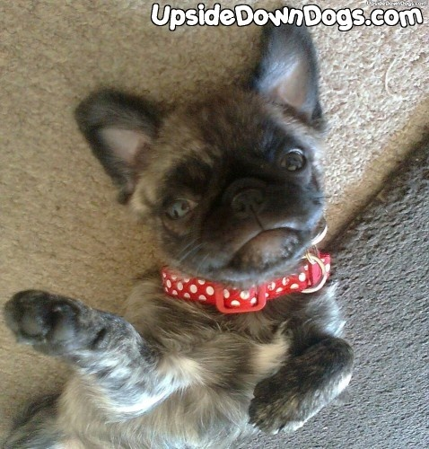 21 best images about Frugs on Pinterest   Poodles, Yorkie ... Yorkie And Bulldog Mix