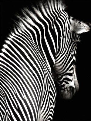 Poster Leinwand, Tiere 25, Zebra Tier Pferd Schwarz Weiß SW Afrika Savanne PJ (Beauty Art Animals)