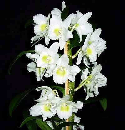 Le mie Orchidee: Dendrobium Nobile