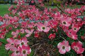 Cornus Florida Rubra 20 Seeds, Pink Flowering Dogwood Hardy Tree