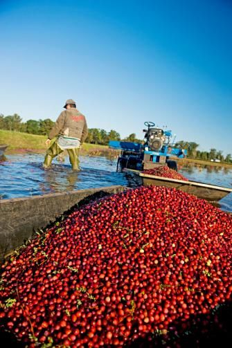 Fall getaway to central Wisconsin's cranberry harvest area! Details: http://www.midwestliving.com/travel/wisconsin/fall-getaway-to-wisconsins-cranberry-harvest/