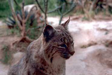 Lynx roux (appelé Bobcat aux États-Unis).
