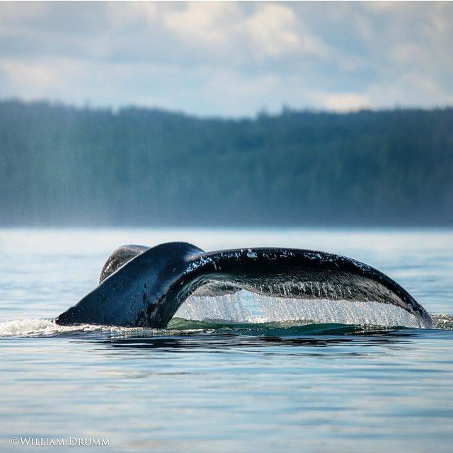 Humpback whales putting on a show in Blackfish Sound; magical #NimmoBay moments!  Photo: @williamdrumm