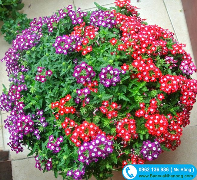 Hoa cúc indo hay còn gọi là Cúc Nữ Hoàng được ưa chuộng trồng làm cây công trình như công viên, khu sinh thái, trong trường học, khuôn viên vườn.