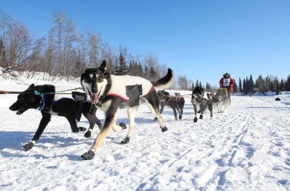 Los perros de Dave Delcourt surcan la nive tras dar comienzo la carrera. (REUTERS/Nathaniel Wilder) - Externa