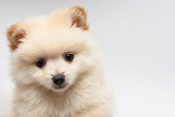 Pomeranians are cute, fluffy and friendly. Find out if a Pom is the right dog for you!