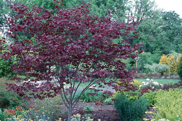 Cercis candensis 'forest pansy' -- another red-leafed mid-size tree option for both the front and back