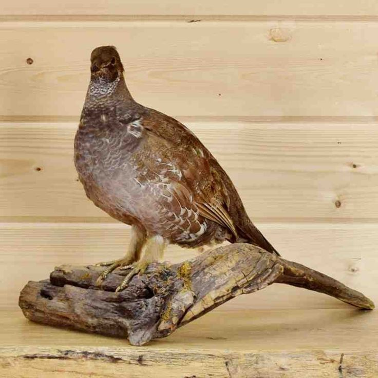 taxidermie grouse