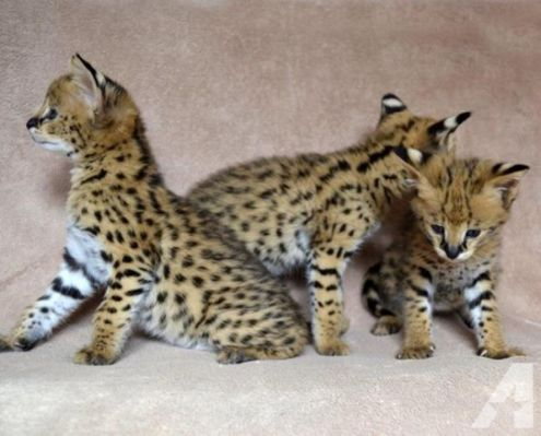 Serval Cat For Sale Ontario