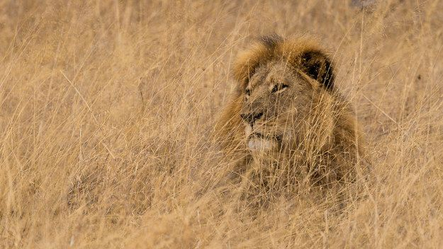 Over the past week, there has been an outpouring of anger and sadness at the death of a beloved Zimbabwean lion named Cecil.