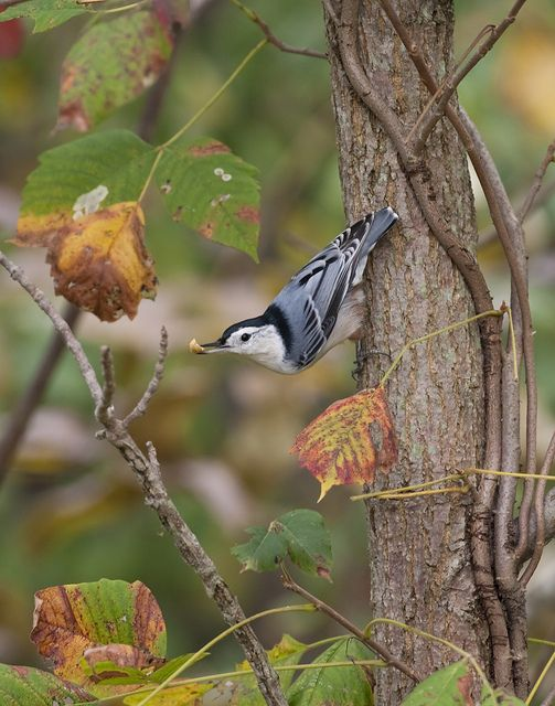 The White-breasted Nuthatch is a lovely bird that walks down trees head first searching for insects!