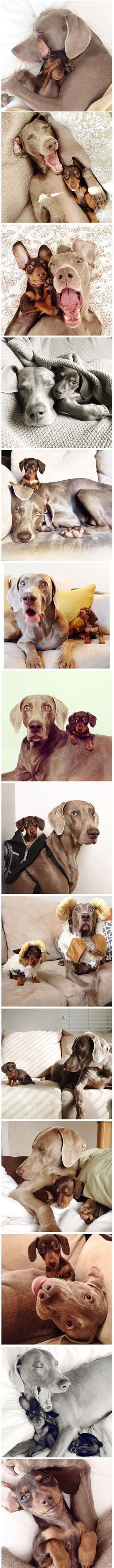 Funny faces! Weimeraner and miniature Dachshund