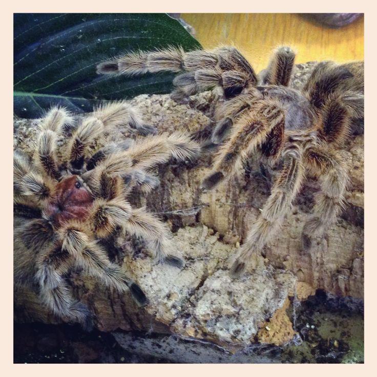 Pair of chile rose tarantulas at Northampton Reptile Centre