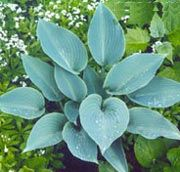 Hosta 'Halcyon' (Plantain lily 'Halcyon') Get care advice to your inbox every month - add this plant to your personal list.