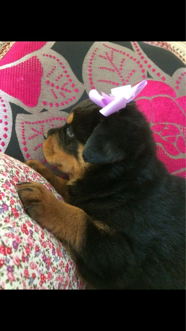 Rottweiler Puppies For Sale For Sale Adoption From Springs Western