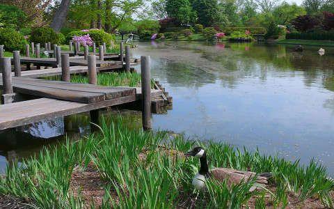 Lúd a tavaszi tó partján