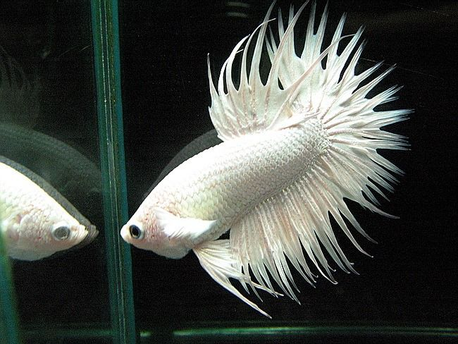 15 best betta fish names the many varieties of betta for Beta fish names