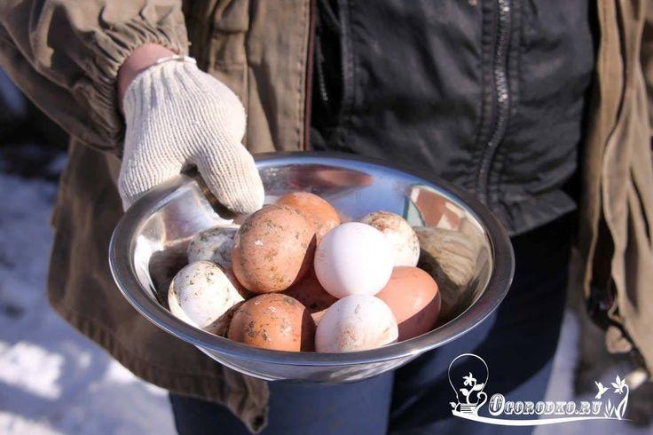 ЧТОБЫ КУРЫ ХОРОШО НЕСЛИСЬ ЗИМОЙ    Случается что в какой-то период, особенно зимний, продуктивность кур падает, то есть количество яиц сокращается. Эта проблема встречается обычно у начинающих птицеводов, которые только первый год организовали на своём дачном участке фермерское хозяйство, или завели кур для себя. Профессионалы своего дела знают, что делать, чтобы куры хорошо неслись. На производительность влияет множество факторов: освещение, кормление и тд., а зная физиологические…