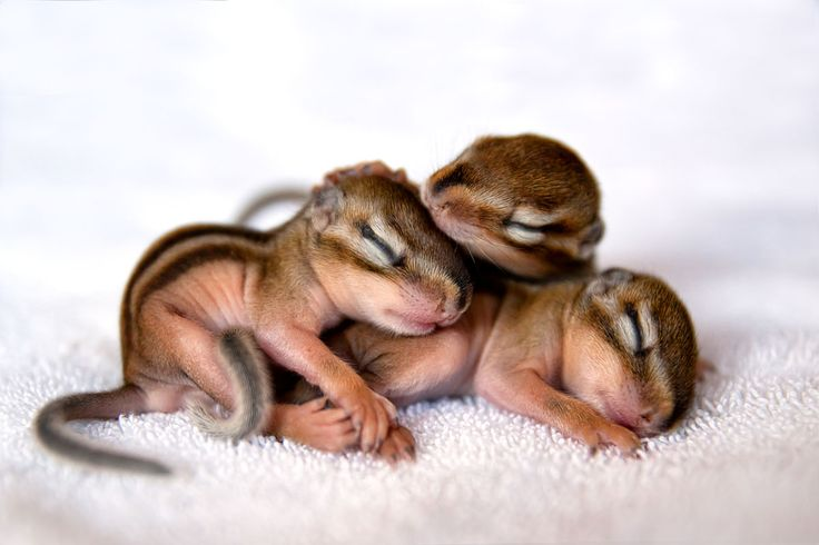 """Dreierpack""  Streifenhörnchen - chipmunk  .  Animal Photography Artwork"