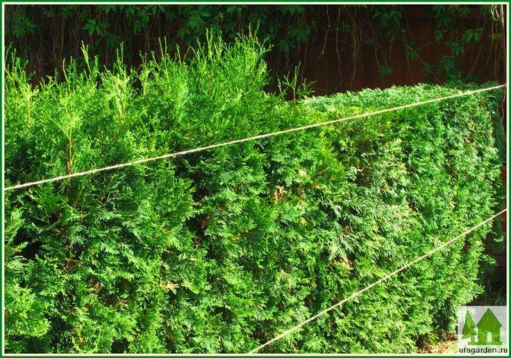 Живая изгородь из туи - ограждение, которое объединяет нас с природой   Загородный дом