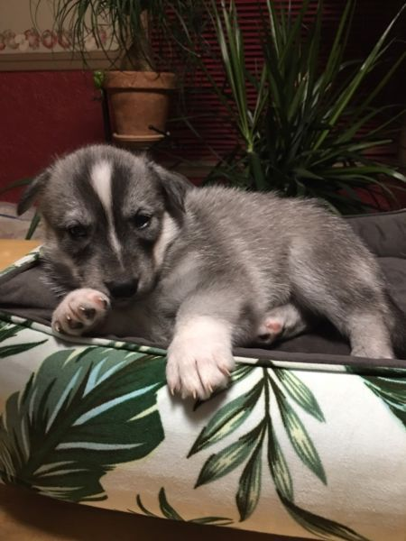 Husky Puppies For Sale! Half Alaskan & Siberian! negotiable!! | chiens, chiots à adopter | Ville de Montréal | Kijiji