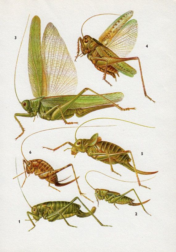 vintage green Crickets Bugs vintage print insect print boy bedroom decor