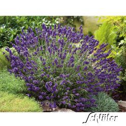 Lavendel 'Hidcote Blue', 30 - 50 cm hoch, sonnig bis halbschattig, blüht  6 - 9, unter Rosen