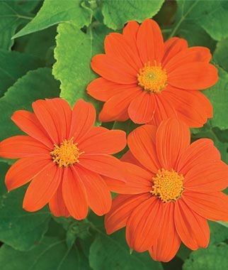 Tithonia, Sundance, also known as Mexican Sunflower is so easy to grow from seed. They add so much color to the garden and stand out because they are tall. Be careful when cutting them for flower arrangements; their necks are somewhat fragile. I like to couple them with Blue Delphiniums or something purple and spectacular.